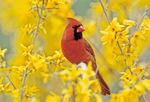 Cardinal on forsythia