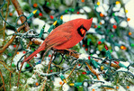 cardinal in holiday spruce
