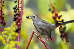 catbird with pokeweed berry