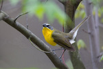 Yellow-breasted chat