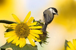 chickadee on sunflower