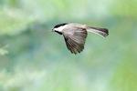 chickadee flies with seed