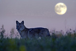 Coyote and full moon