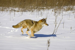Coyote running in snow