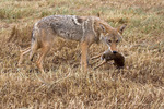 Coyote with cottontail