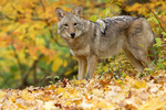 Coyote - in autumn