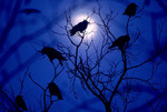 American crows roosting with full moon