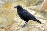 American crow on rocks