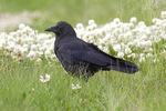 Northwestern crow on ground