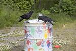 Northwestern crows at trash can