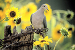 Mourning dove on fencpost