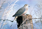 Mourning dove on fencepost