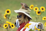 Mourning dove on scarecrow