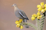 white-winged dove on cholla