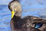 American black duck preening