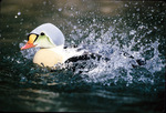 King eider bathing