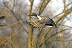 Pintail duck drake flying