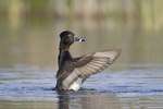 Ring-necked duck flapping