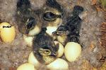Wood duck ducklings hatching