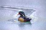 Wood duck drake in icy water