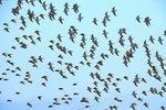 Dunlin flock flying