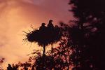 Bald eagle nest at sunset
