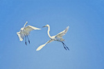 Great egrets fighting
