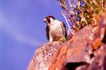 Peregrine falcon perched on rocks