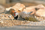 Gilded flicker - male anting