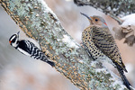 Woodpeckers - flicker and downy