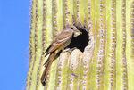 Ash-throated flycatcher nest