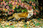 red fox in fall by dogwood