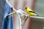 American goldfinch - summer male on clothesline