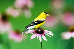 American goldfinch - summer male on coneflower