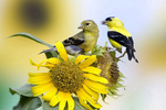 American goldfinch - summer male and female