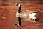 Canada goose in fall