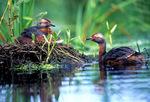 Horned grebe nest