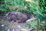 Valley pocket gopher at burrow