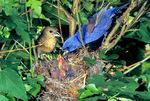 Blue grosbeak nest
