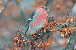 Pine grosbeak on crabapple