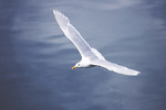 Glaucous-winged gull flying