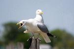 Herring gulls - calling