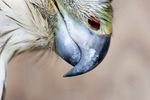 Cooper's hawk beak