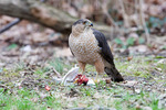 Cooper's hawk with pigeon
