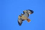 red-tailed hawk fliying