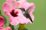 Ruby-throated hummingbird - immature - by hibiscus