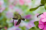 ruby-throated hummingbird tail