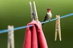 ruby-throated hummingbird on clothesline