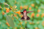 ruby-throated hummingbird at jewelweed