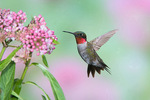 bury-throated hummingbird at flowers